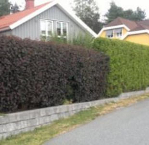 de55b259c Solblærespirea Prima Ferdighekk - Physocarpus opulifolius `Diabolo´ 125cm