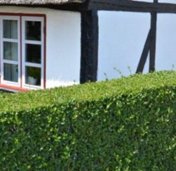 3cd85a9f6 Liguster(vintergrønn) Prima Ferdighekk - Ligustrum ovalifolium 180 cm